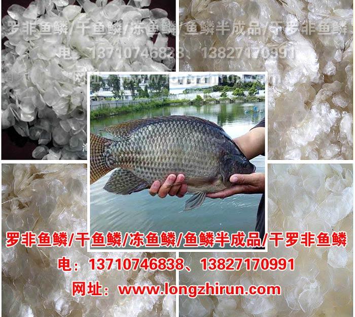 供应优质lehu6 vip 冷冻罗非lehu6 vip 干lehu6 vip